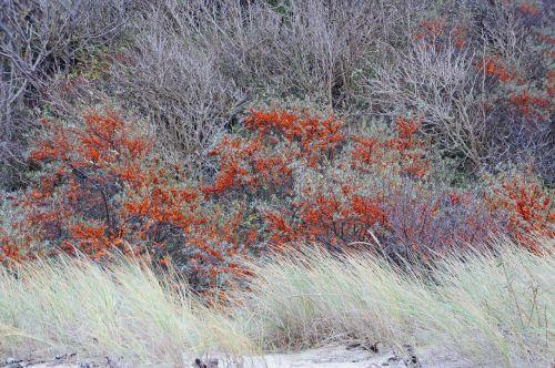 sea buckthorn orange berries