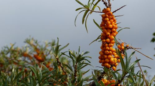 sea buckthorn plant bush