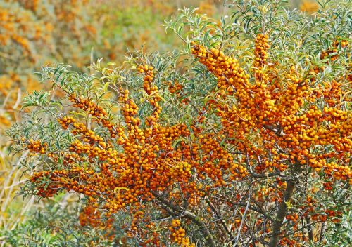 sea buckthorn berries infructescence