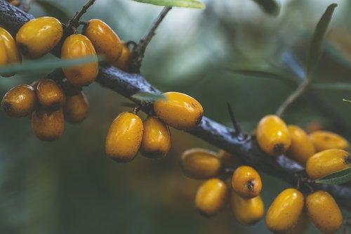 sea buckthorn  plant  fruit