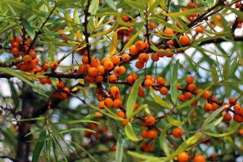 Šaltalankis,vaisiai,uogos,oranžinė,raudona,krūmas,paprastosios gervuogės,visžalis krūmas,periwinkle,dekoratyvinis krūmas,apsidraudimas,paukščiai bosk,dekoratyvinis