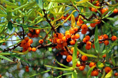 Šaltalankis,vaisiai,uogos,oranžinė,raudona,krūmas,paprastosios gervuogės,visžalis krūmas,periwinkle,smailas,dekoratyvinis krūmas,apsidraudimas,paukščiai bosk,dekoratyvinis