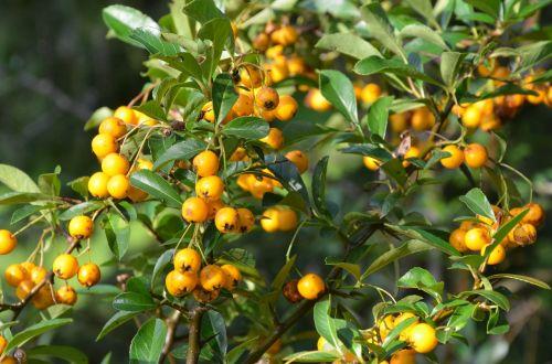 sea buckthorn autumn fruits