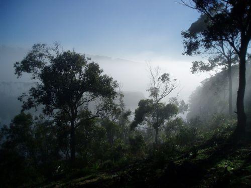 jūros rūkas,medžiai,rūkas,miškas,miškai,vaizdingas,gamta,lauke,rūkas,australia,gumos medžiai,migla