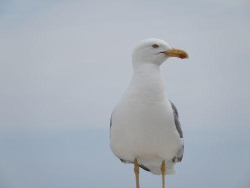 sea gull bird seagull