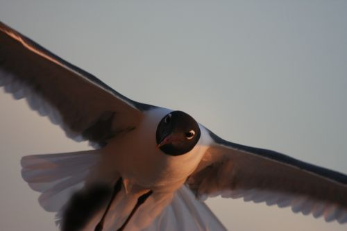 sea gull flight light
