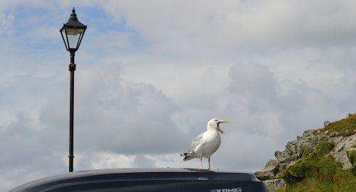 sea gull bird song cornwall