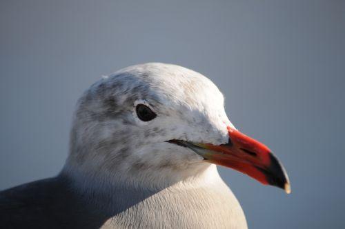 Sea Gull Face