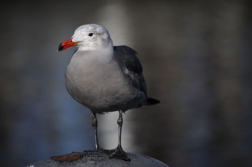 Sea Gull Full View