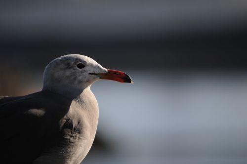 Sea Gull Profile