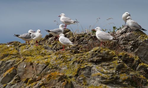 sea gulls gulls rocks
