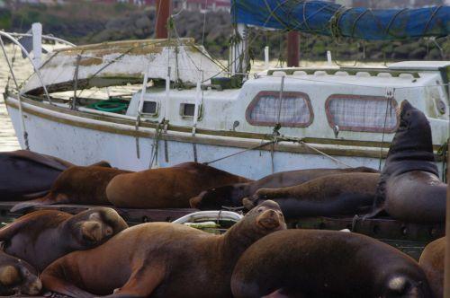 sea lion dock animal