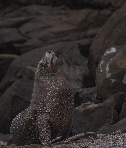 sea lion majestic nature