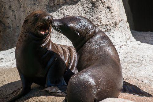 sea lion pup baby