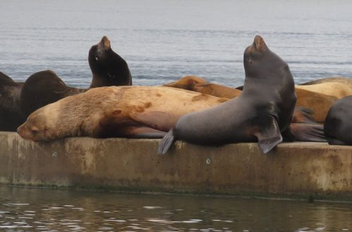 sea lion marine life ocean
