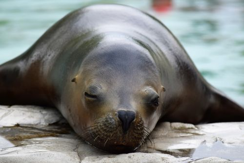 sea lion zoo resting