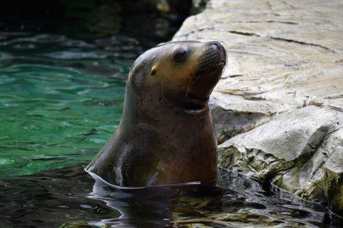 sea lion water head