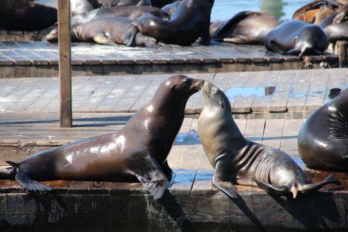 sea lion seals seal