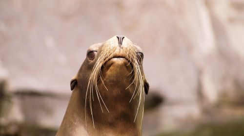 sea ​​lion animals nature