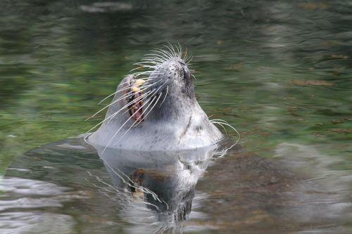 sea lion head water
