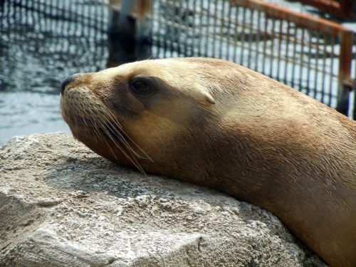 sea lion head relaxed