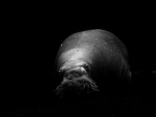 sea lion animal crawl