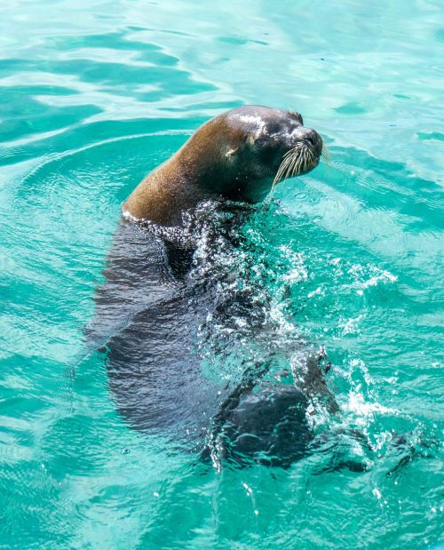 sea lion face marine