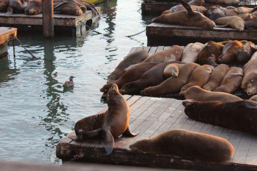 jūrų liūtas,vanduo,geras žvilgsnis,gyvūnai