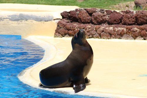 sea lion otaria marine mammal