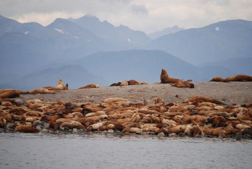 sea lions juno alaska alaska