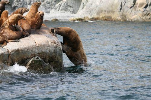 sea lions rookery harem