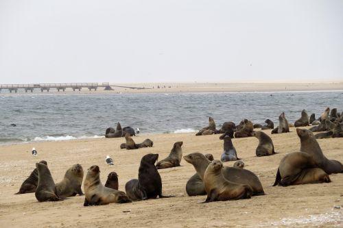 sea lions seals colony
