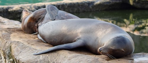 sea lions  eared seal  animal world