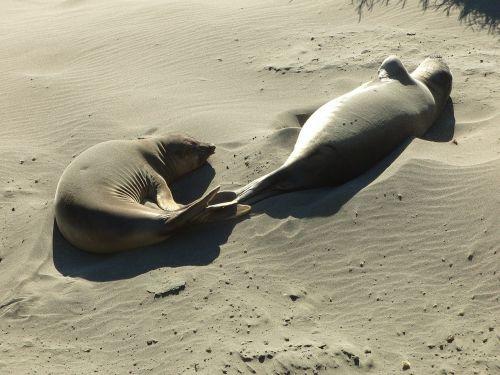 sea lions beach sand
