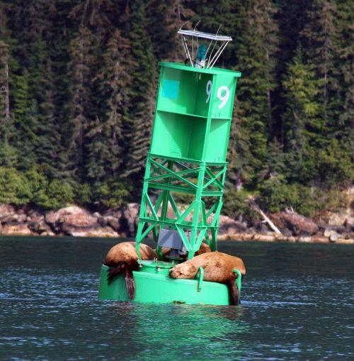 sea lions steller sea lions sea