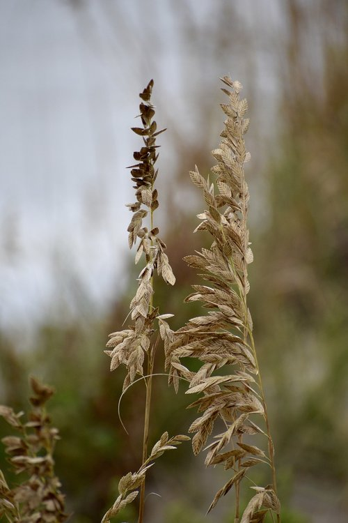 sea oat grass  weed  sand