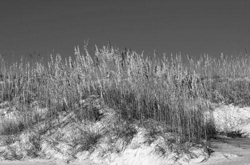 sea oats sand dune sand