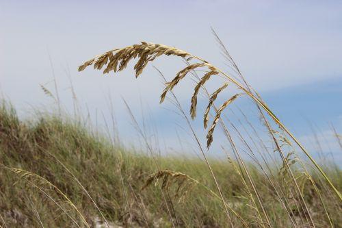 sea oats beach grass