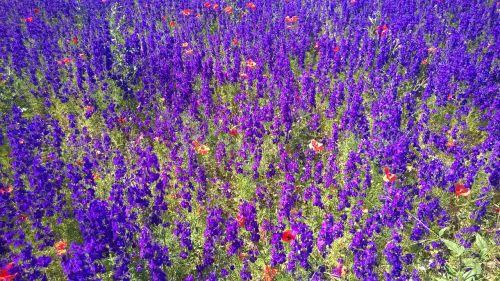 sea of flowers flower meadow violet