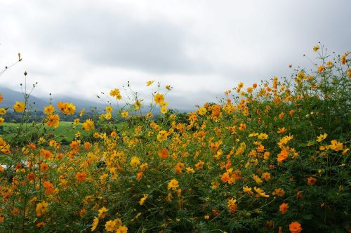 sea of flowers pai the universe