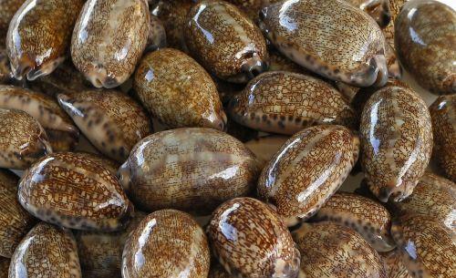sea shells cowry cypraeidae