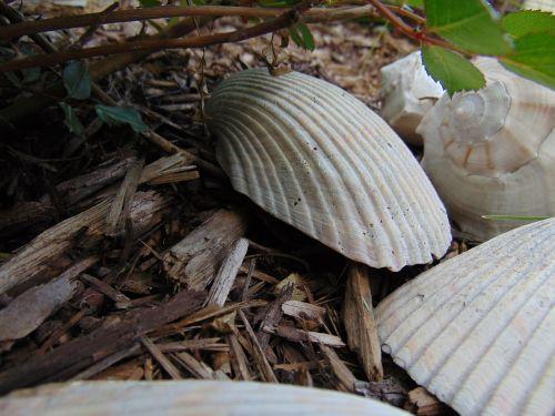 sea shells mulch decorative