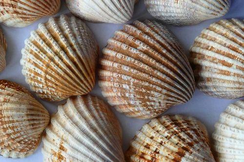 Sea Shells Close Up