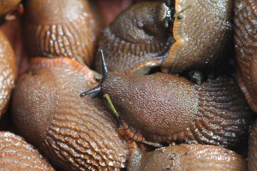sea slugs pests snail plague