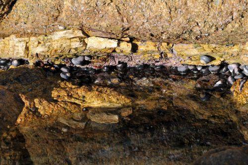 Sea Snails On Rock