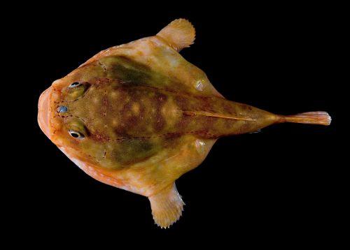 sea toad fish chaunacidae