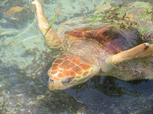 sea turtle fl usa
