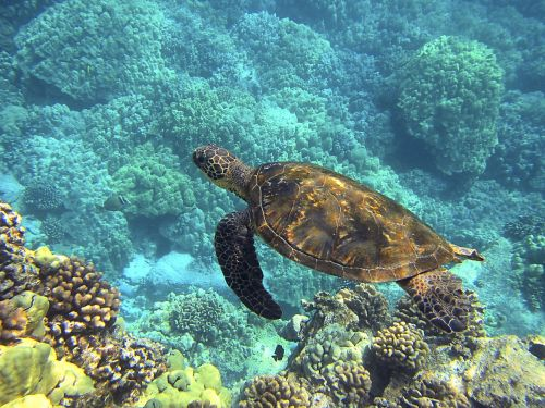sea turtle hawaiian sea turtle green sea turtle