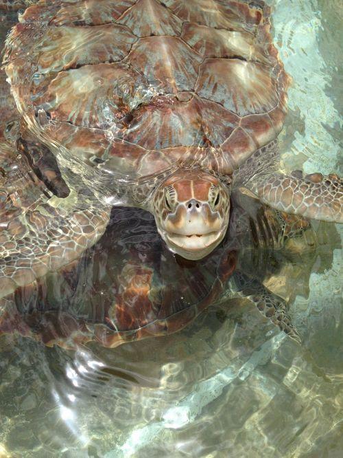 sea turtles turtles nature