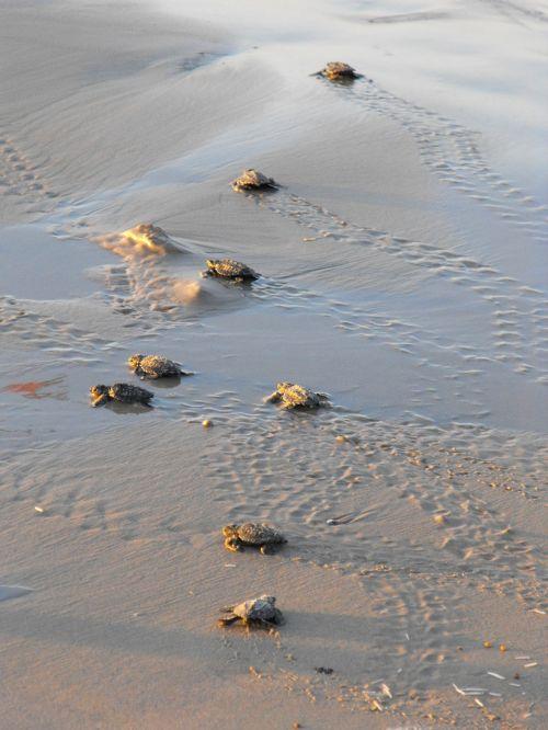 sea turtles turtles water